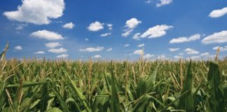 Corn oil is heart-healthy   Family Life Tips