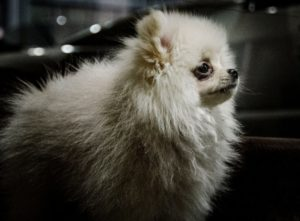 Many older Pomeranian's are looking for forever homes.