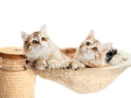 Two Siberian Kitten Cats lying in their Cat Bed | Family Life Tips Magazine